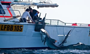 Shark cull in Western Australia : tiger shark being caught