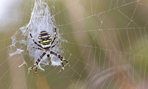 UK Spider in da House app : Wasp Spider on web in Cornwall