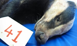 Badger Shot in Abdomen Confirms Fears About Badger Cull Suffering