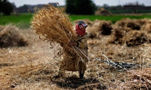 MDG : millennium development goals targets and poverty : farmer carries wheat crop in Egypt