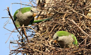 A feral population of Monk Parakeet, also known as the Quaker Parrot, (Myiopsitta monachus)