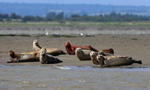 River Thames seal population survey by ZSL