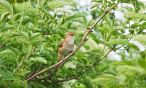 Male Nightingale singing at Two Tree island Nature Reserve in Essex