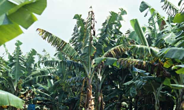 MDG : Panama disease (Fusarium oxysporum) devastation in mature South African banana plantation