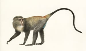 Illustration of a lesula monkey