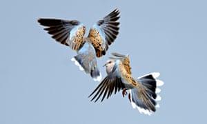 Turtle doves courtship in Norfolk, UK