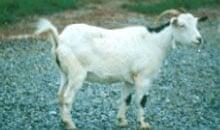 myotonic goat: whitetail