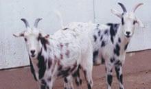 myotonic goats: kids