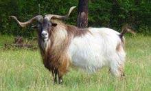 myotonic goat: horns
