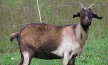 myotonic goat: brown peacock