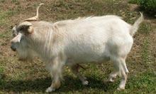 myotonic goat