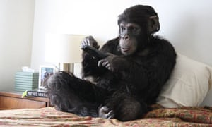 An actor in a chimp suit watches TV in Rachel Mayeri's Primate Cinema: Apes As Family.