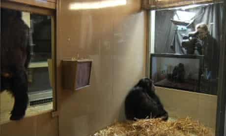 Primate Cinema: Apes As Family, by Rachel Mayeri.