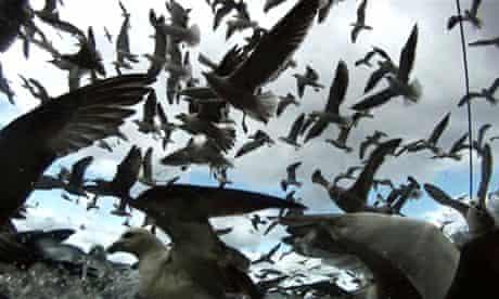 Leviathan: gulls