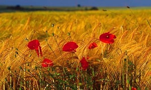 Poppies Le Hamel France