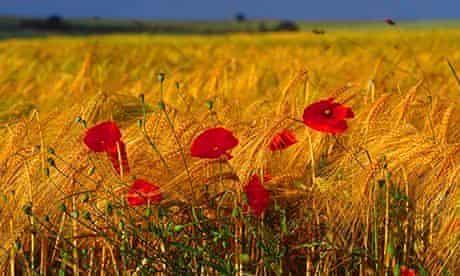 Poppies Le Hamel France