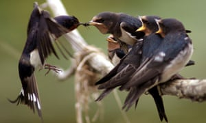A BARN SWALLOW FEEDS ITS HATCH OF YOUNG WITH A FLY NEAR THE EASTERN GERMAN TOWN OF KUESTRIN-KIETZ