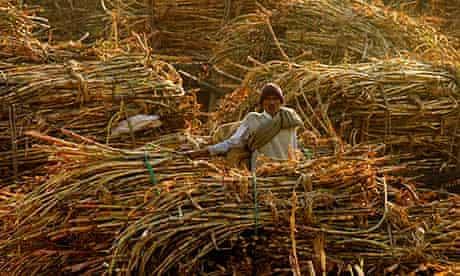 India Sugar cane
