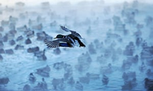 Wintering Ducks