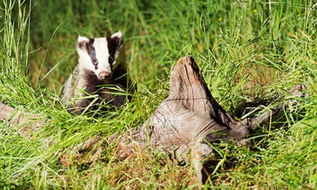 Well grown Badger Cub in Scottish woodland