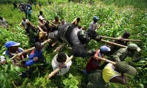 Congo gorilla poaching