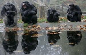 Gallery November 7 2008: Chimpanzees at Burgers' zoo