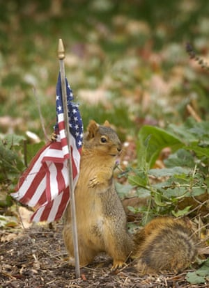 Gallery November 7 2008: Omaha, US: A squirrel tries to take some material from a flag