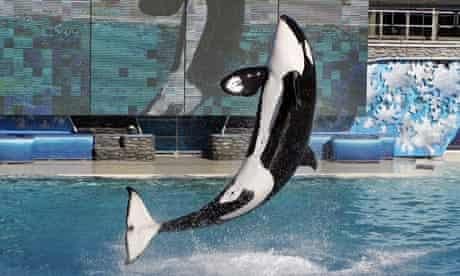 Killer whale Kasatka at SeaWorld