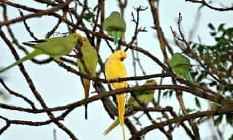 Roosting parakeets
