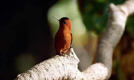 A tiny orange Juan Fernandez firecrown hummingbird,  Juan Fernandez Islands, Chile.