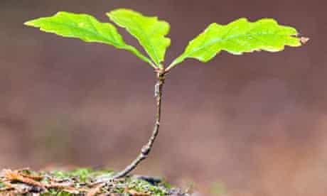 Oak sapling; Quercus robur