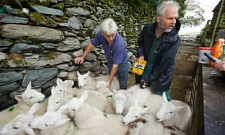 testing sheep for radiation