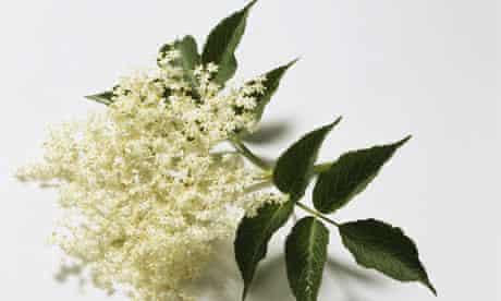 Elderflower sprig