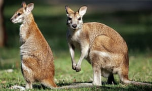 A wallaby and joey