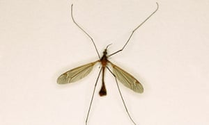 Daddy Long Legs, Crane Fly