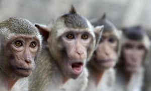 Macaque monkeys sit in a row