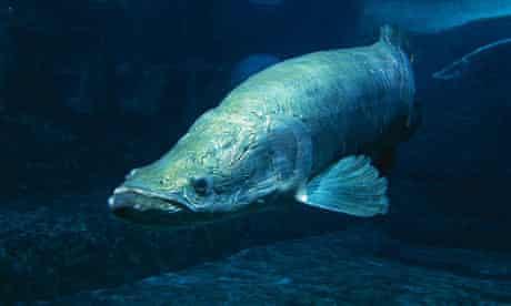 Giant Amazon River fish Arapaima