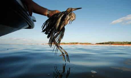 bird in deepwater horizon clean-up