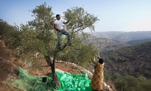 West Bank olive trees