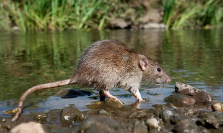 Weil's disease can be carried in water contaminated with rats' urine