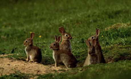 rabbits in hedgerows