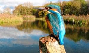 Kingfisher, British Waterways wildlife