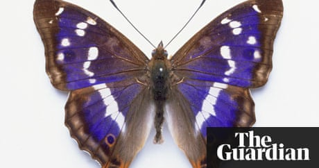 My Search For The Purple Emperor Butterfly