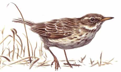 water pipit for Birdwatch November