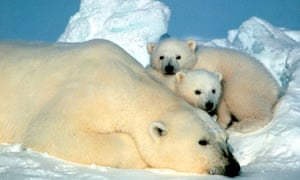 A polar bear and her cubs in Alaska