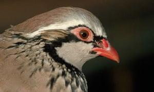 Red -Legged Partridge