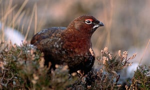 Male Red Grouse in Heather