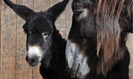 Young Baudet de Poitou donkey