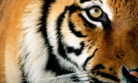 One Last Chance Can We Save The Tiger Environment The Guardian