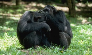 Two chimpanzees groom each other in the Gombe National Park, Tanzania